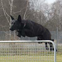 Schwarzer Hund springt über Zaun.