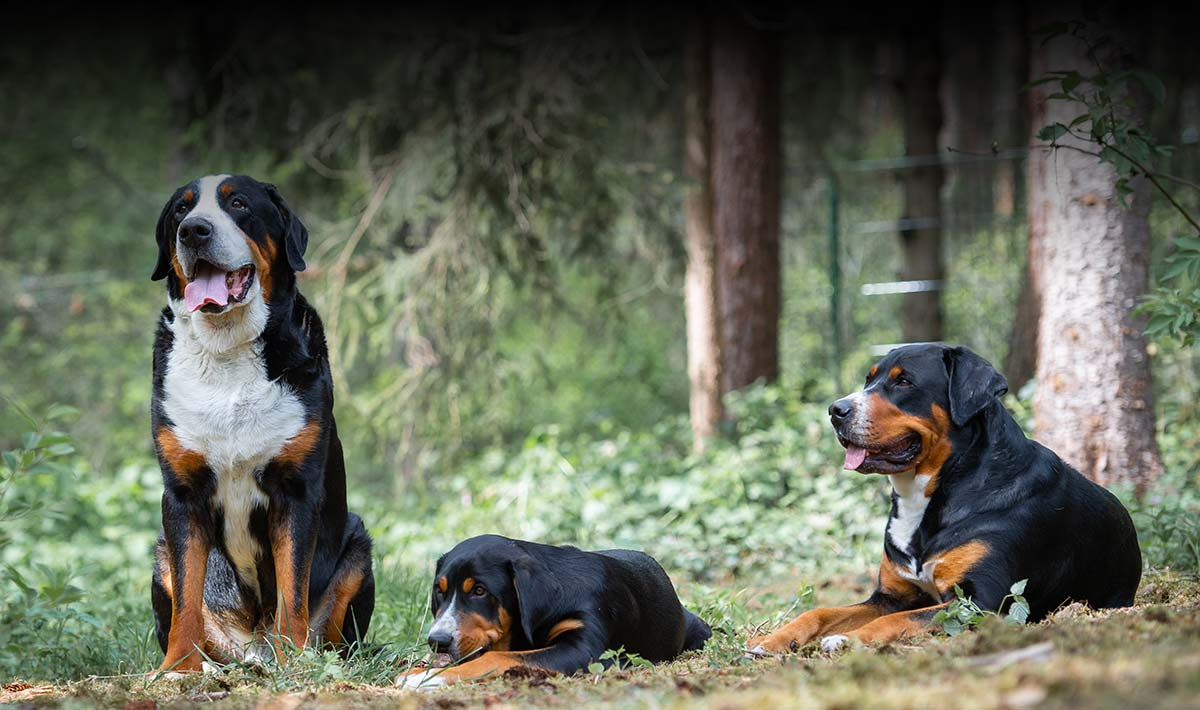 Tierphysiotherapie, Drei grosse Schweizer Sennenhunde liegen im Wald