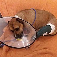 Hund nach Operation mit Verband am Bein