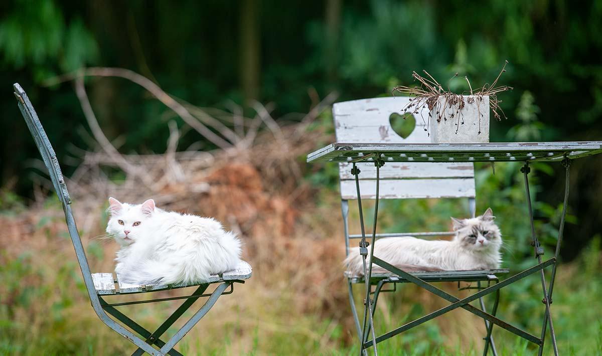 Zwei Katzen im liegen im Garten auf alten Stühlen