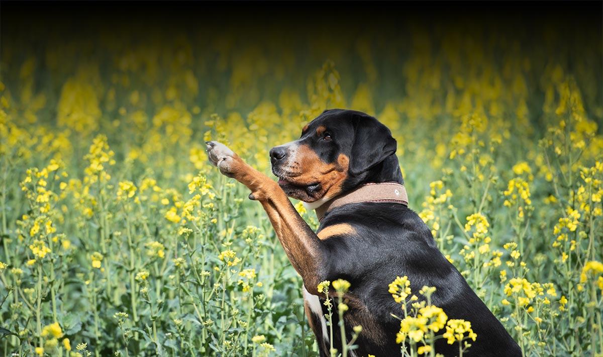 Großer Schweizer Sennenhund im Rapsfeld
