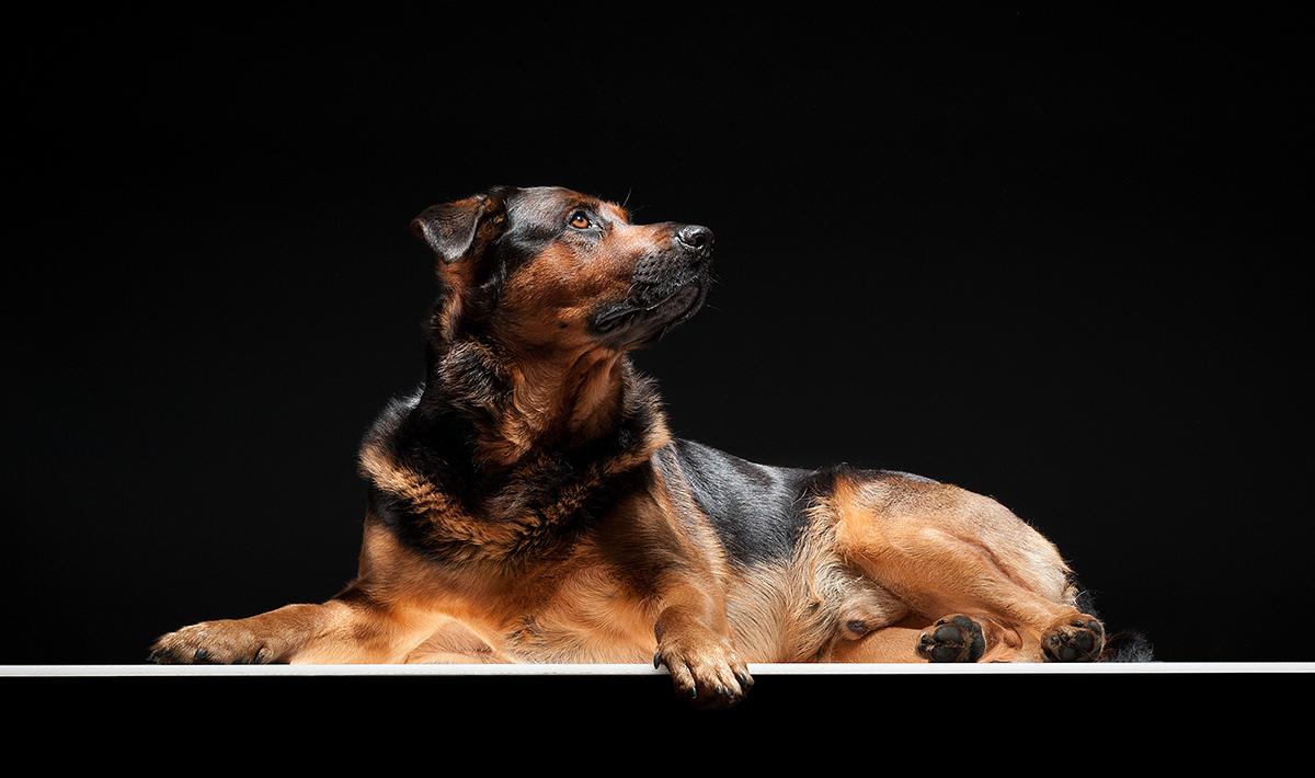 Studiobild von einem Tierfotograf. Schäferhund-Rottweiler-Mix Teddy liegt auf einem Leuchttisch vor schwarzem Hintergrund
