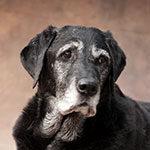 Tierphysiotherapie, Alter Labrador